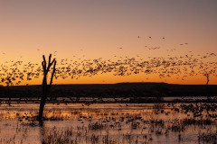 Sunrise Blast Off || Bosque del Apache NWR