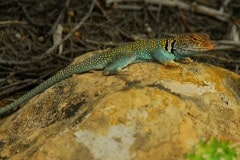 Collared Lizard || Mesa Verde NP, CO