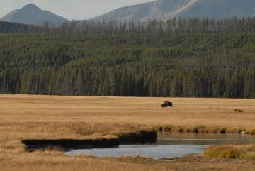 American Bison || Yellowstone NP