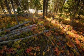 Autumn Light in Forest || Grand Teton NP