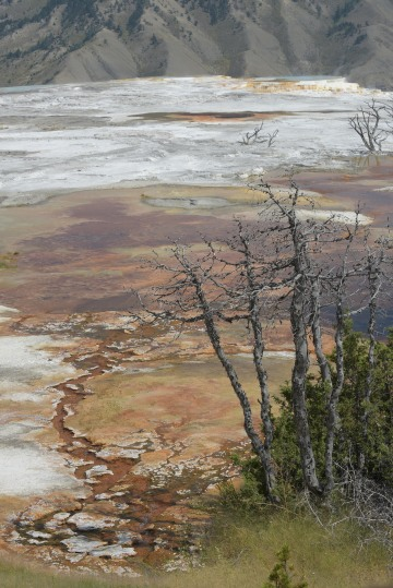 Canary Spring    Yellowstone NP