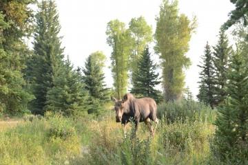 Cow Moose || Grand Teton NP