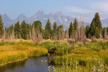 Cow Moose in River || Grand Teton NP