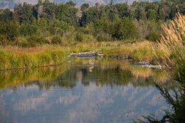 Great Blue Heron || Grand Teton NP