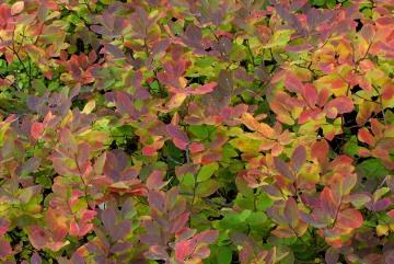Huckleberry in Fall || Grand Teton NP
