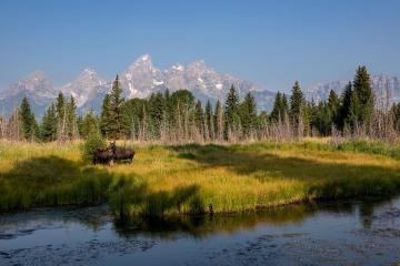 Moose and Calf || Grand Teton NP