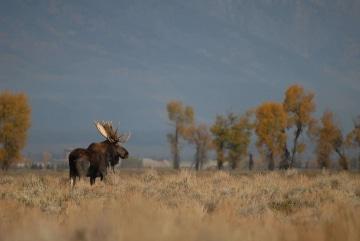 Moose on the Plains || Grand Teton NP