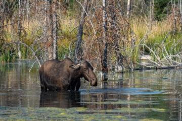 Thirsty Moose || Grand Teton NP