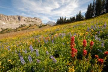 Wildflowers along Teton Crest Trail || Grand Teton NP
