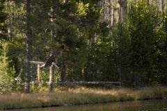 Bald Eagle Flight || Grand Teton NP