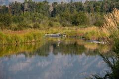 Great Blue Heron    Grand Teton NP