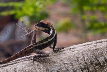 Agamid Lizard || Railay
