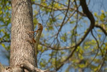 Agamid Lizard of Ko Phangan || Ko Samui Archipelago