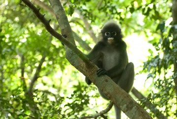 Dusky Leaf-monkey || Railay