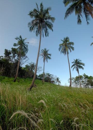 Ko Phangan Palms & Grass || Haad Tien