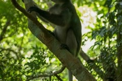 Dusky Leaf-monkey || Railay