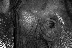 Thai Elephant Eye || Pai