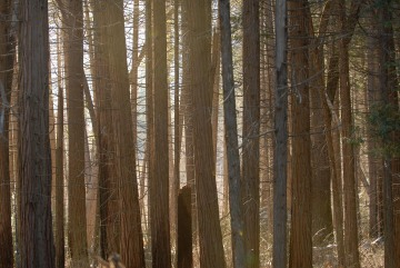 Afternoon Light through Pine Trees || Yosemite NP