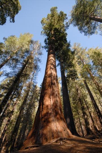 Giant Sequoias || Yosemite NP