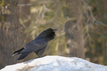Raven || Yosemite NP