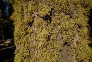 Tree Moss || Yosemite NP