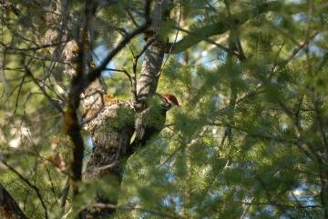 Woodpecker || Yosemite NP